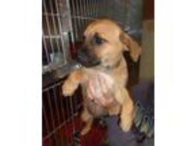 Adopt Questa /Sadie a Beagle / Terrier (Unknown Type, Small) / Mixed dog in