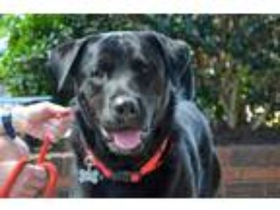 Adopt Onax a Black - with White Labrador Retriever / Mixed dog in Alpharetta