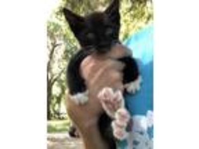 Adopt Kitten a Black & White or Tuxedo American Shorthair cat in St Augustine