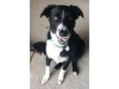 Adopt Jet a Australian Shepherd, Border Collie