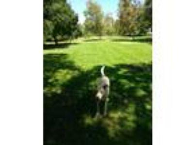 Adopt Angel Collins a Tan/Yellow/Fawn - with White Labrador Retriever / Husky /