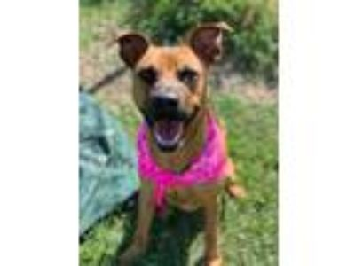 Adopt Edwina a Brown/Chocolate German Shepherd Dog / Mixed dog in West Memphis
