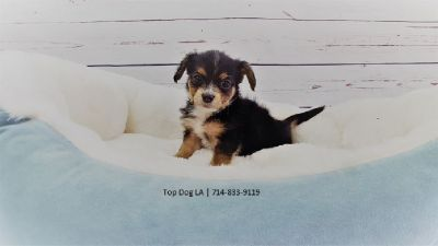 Maltese/Jack Russell-Male-6 Pack