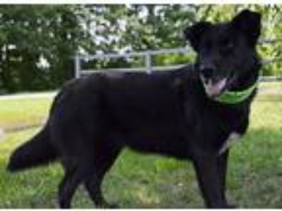 Adopt Roamer a Black Labrador Retriever / German Shepherd Dog / Mixed dog in