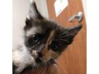 Adopt KITTY HOUSTON a Calico or Dilute Calico Domestic Longhair cat in Yuma