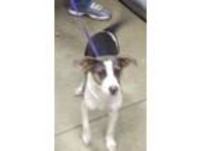 Adopt Molly a Jack Russell Terrier