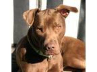 Adopt Jonah a Labrador Retriever, Staffordshire Bull Terrier