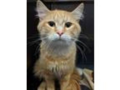 Adopt Timmer a Domestic Medium Hair, Extra-Toes Cat / Hemingway Polydactyl