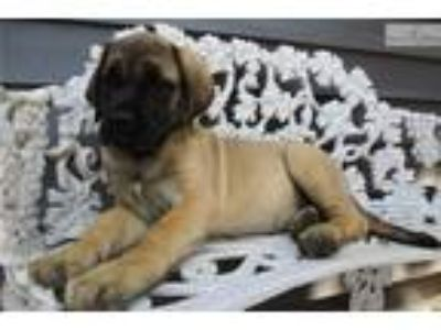 AKC registered female English Mastiff puppy