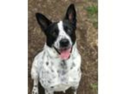 Adopt Cooper a Black - with White Border Collie / Mixed dog in Shelbyville