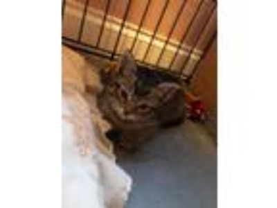 Adopt Maui a Brown Tabby Domestic Shorthair (short coat) cat in Toms River