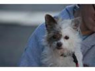 Adopt Gizmo a White - with Red, Golden, Orange or Chestnut Terrier (Unknown