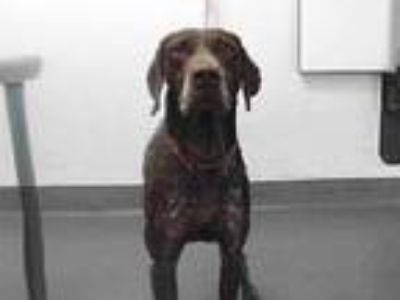 Adopt 20-01309 a German Shorthaired Pointer