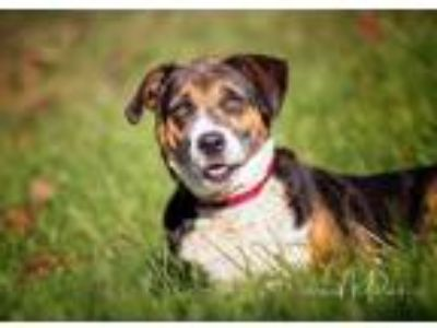 Adopt Betty a Black - with White Beagle / Hound (Unknown Type) / Mixed dog in