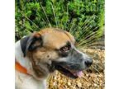 Adopt Toby a Brown/Chocolate - with White Akita / Mixed dog in Fort Lauderdale