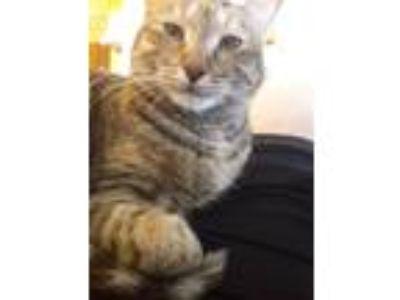 Adopt Cortana a Tortoiseshell Domestic Shorthair / Mixed cat in Lansing