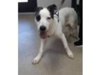 Adopt Archer a White German Shepherd Dog / American Pit Bull Terrier / Mixed dog