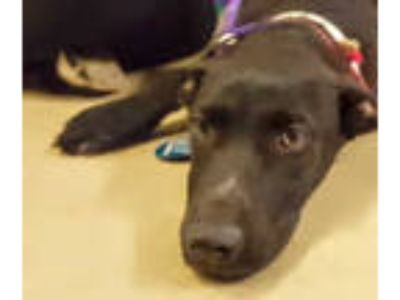 Adopt a Black Labrador Retriever / Mixed dog in Houston, TX (25925986)