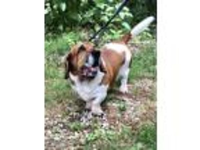 Adopt Charlie a Brown/Chocolate - with White Basset Hound / Shar Pei / Mixed dog