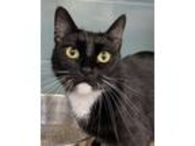 Adopt Margaery a Domestic Short Hair, Tuxedo
