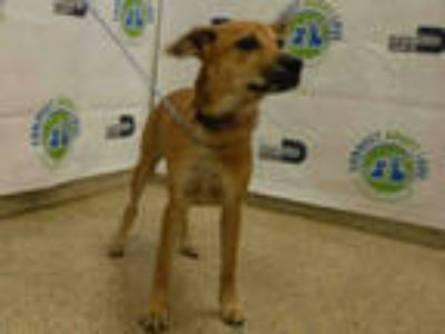 Adopt CINDY a Tan/Yellow/Fawn German Shepherd Dog / Mixed dog in Doral