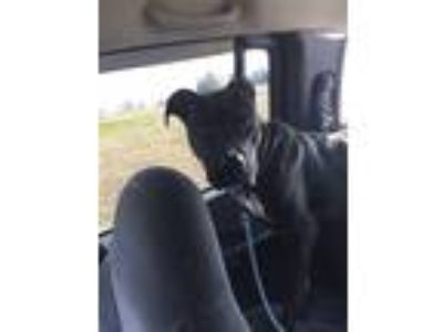 Adopt Sassy a Black - with White American Pit Bull Terrier / Mixed dog in