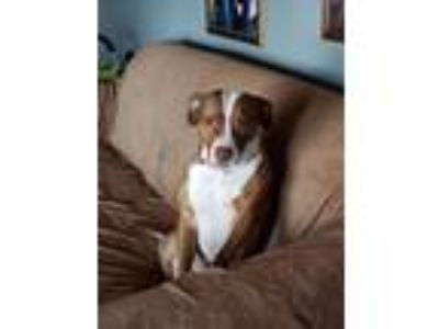 Adopt Jasmine a American Pit Bull Terrier / Mixed dog in Germantown