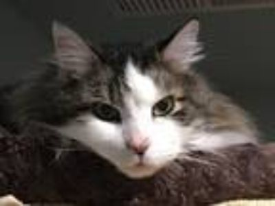Adopt Marcel a Maine Coon