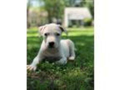 Adopt King a White American Pit Bull Terrier / Great Dane / Mixed dog in