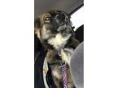 Adopt Ruby a Black - with Tan, Yellow or Fawn German Shepherd Dog / Bearded