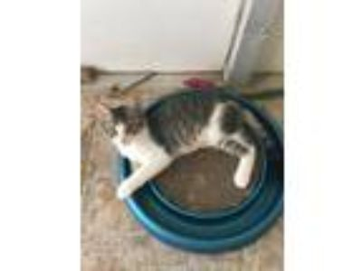 Adopt Candy a Domestic Short Hair
