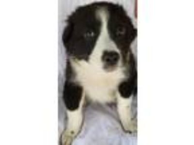 Adopt Sage a Australian Shepherd, Border Collie