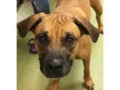 Adopt ROSITA a Brown/Chocolate Boxer / Mixed dog in San Antonio, TX (25332922)
