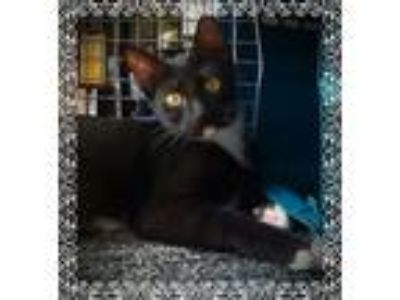 Adopt Belle a Black & White or Tuxedo Domestic Shorthair (short coat) cat in