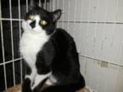 Adopt DominaCAT a Black & White or Tuxedo Domestic Shorthair (short coat) cat in