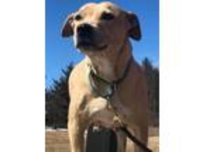 Adopt Mama Boon Dog a Boxer, Pit Bull Terrier