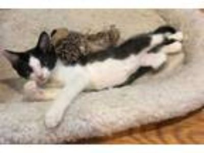 Adopt LORE a Brown Tabby Domestic Shorthair / Mixed (short coat) cat in