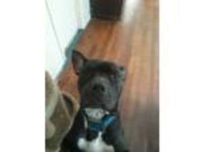 Adopt Bandit a Black - with White American Pit Bull Terrier / Mastiff dog in