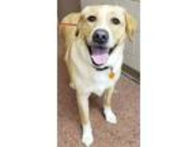 Adopt Charlie a Tan/Yellow/Fawn Labrador Retriever / Mixed dog in New Albany