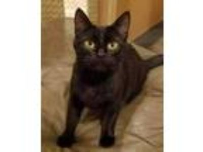 Adopt Tolkien a All Black Domestic Shorthair / Domestic Shorthair / Mixed cat in