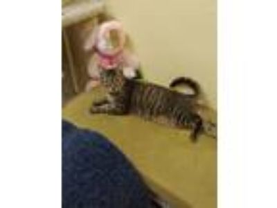 Adopt Tiger Baby a Tabby