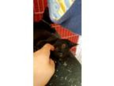 Adopt Elena - Napa a All Black Domestic Shorthair / Mixed (short coat) cat in