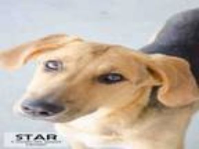 Adopt STAR a German Shepherd Dog, Mixed Breed