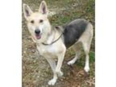 Adopt Bree a German Shepherd Dog