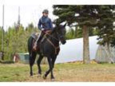 Top Quality Rocky Mountain Horse Gelding