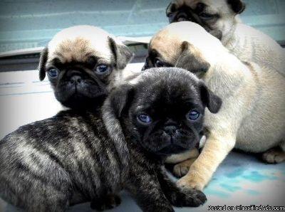 JERRI PK Pug pupS Available