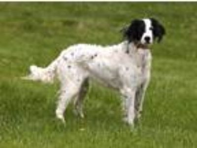 Adopt Genevieve a White - with Black English Setter / Setter (Unknown Type) /