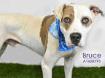 Adopt BRUCE a White - with Brown or Chocolate Labrador Retriever / Mixed dog in