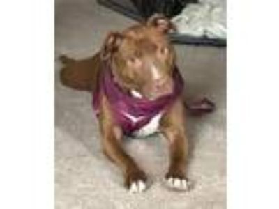 Adopt Pony a Brown/Chocolate American Staffordshire Terrier / Mixed dog in