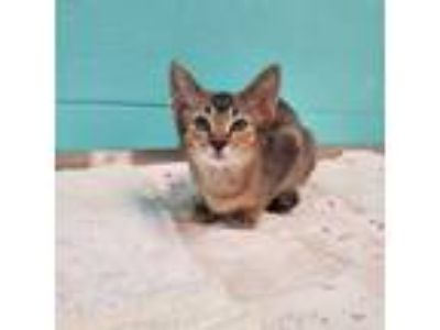 Adopt Bitsy a Tan or Fawn Tabby Abyssinian (short coat) cat in Umatilla